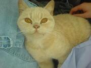 beautifull cream and peach British storthair female