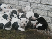 WELL TRAIN AMERICAN BULLDOGS FOR ADOPTION,  THEY ARE ALL PUTTY RAISE IN