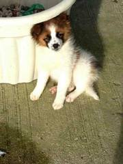 pomernanain x pomerussle puppy for sale £300