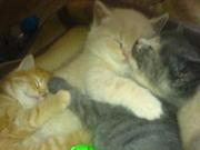 4 beautifull BSH Kitten for sale